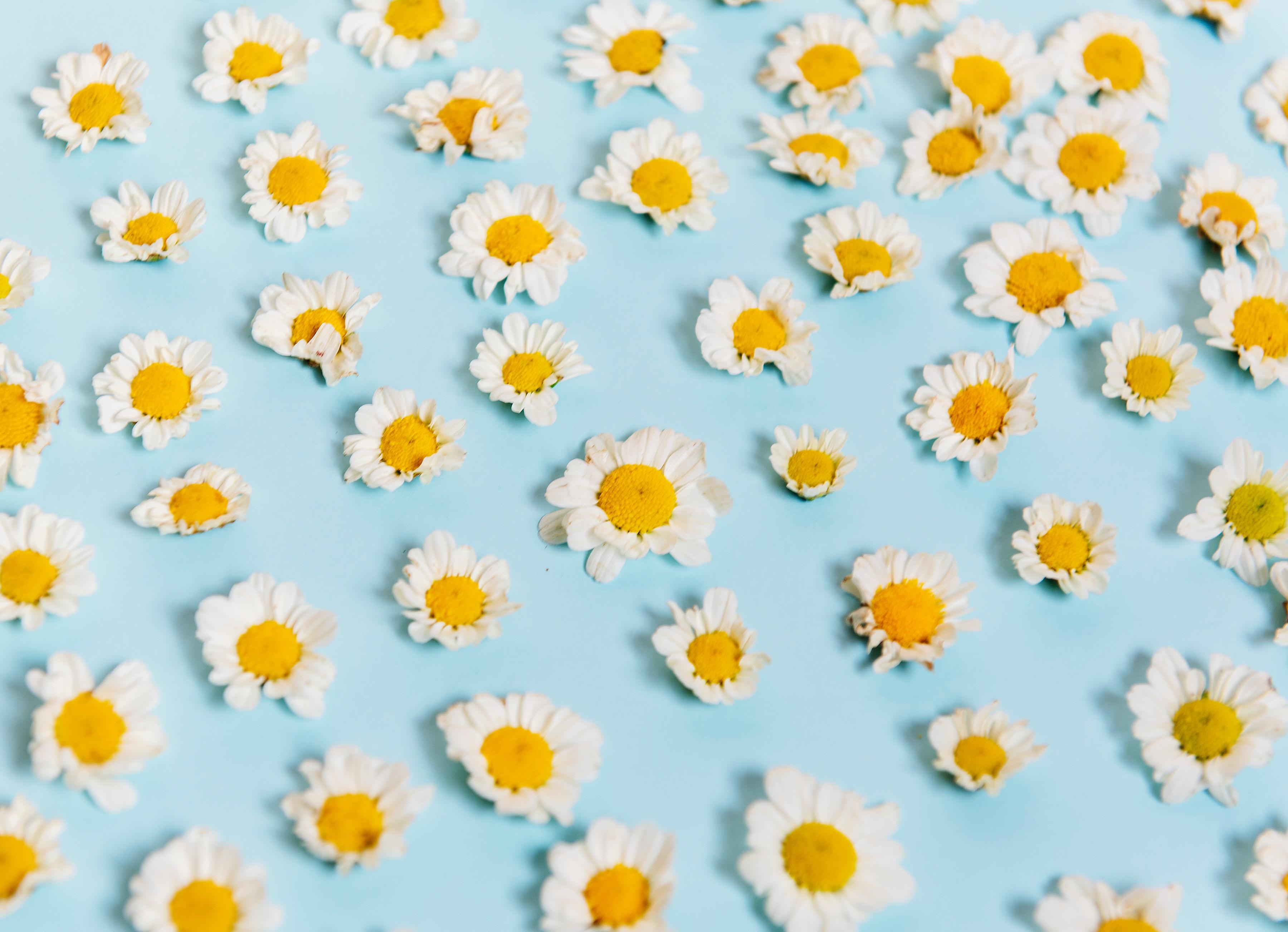 Margherite sdraiate su un foglio di carta azzurro